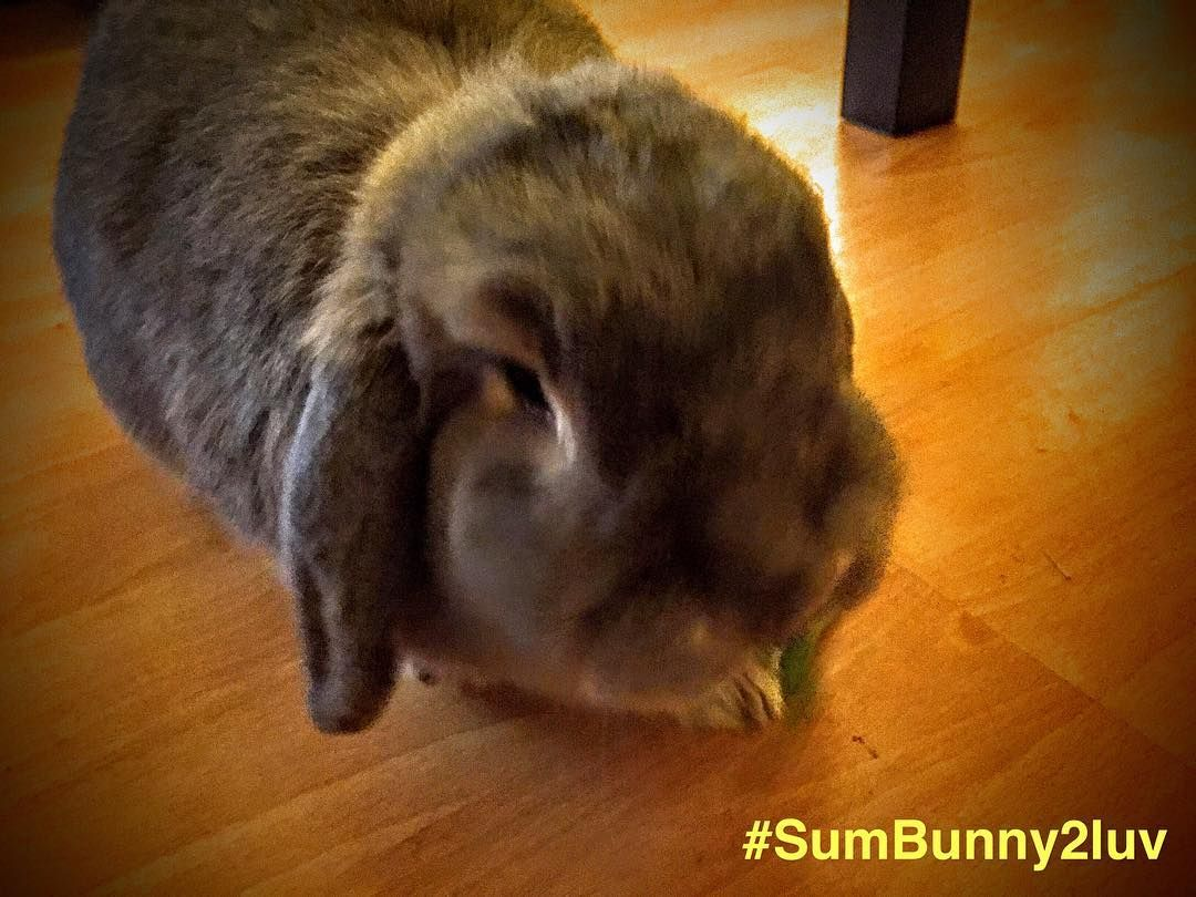 #Goodafternoon / #Goodevening #everybun!  It's #Sunday time to #relax and #love the #sofa!  Here's a picture of #Honey this evening enjoying a snack!  Hop you've all had a great #weekend?  We  you all.  With luv All the family at #sumbunny2luv <3 x  #familyfriendly #instarabbits #glasgow #Scotland #funnyanimals #rabbit #rabbits #bunny #bunnies by sum.bunny2luv