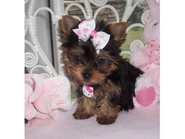 I Have Three Cute Teacup Yorkie Puppies For Free Adoption