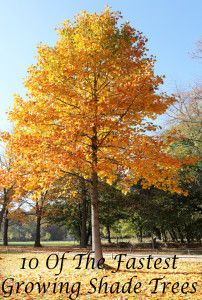 10 Of the fastest growing shade trees