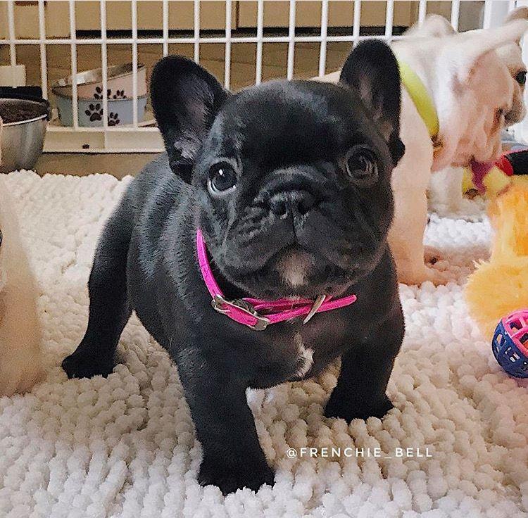 French Bulldog Puppy French Bulldogs Bulldog Puppies