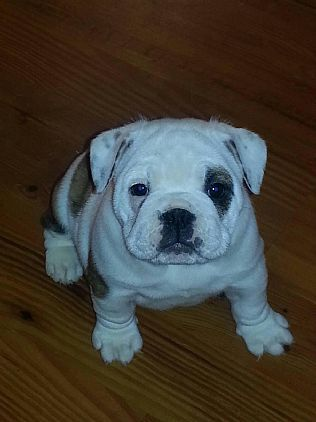 Miniature Bulldog Pet Dog Puppies For Sale in CT | Want Ad