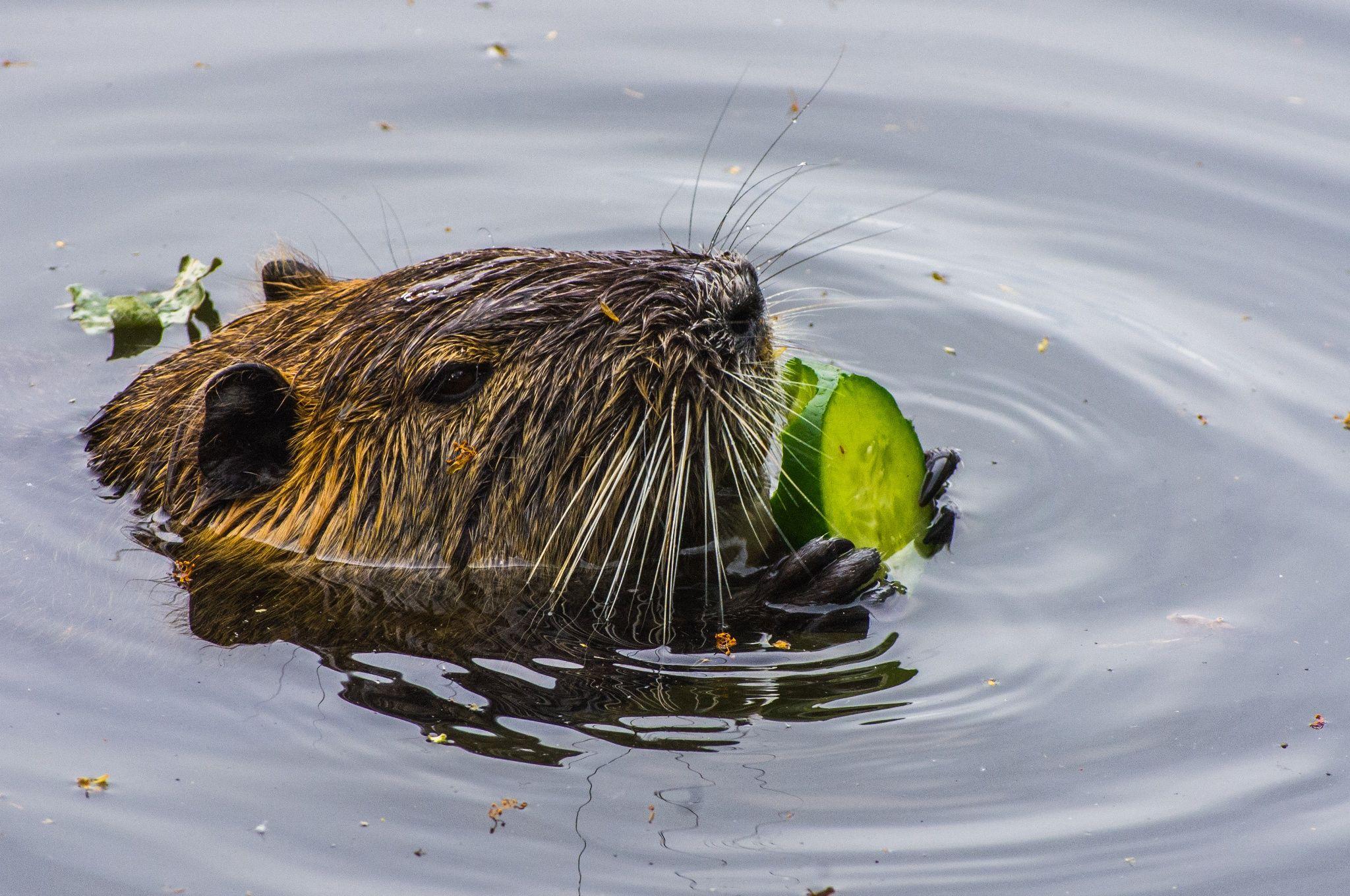 Mahlzeit Biber (eating beaver) - Der Biber genießt seine vegetarische Mahlzeit gemütlich und entspannt im Wasser