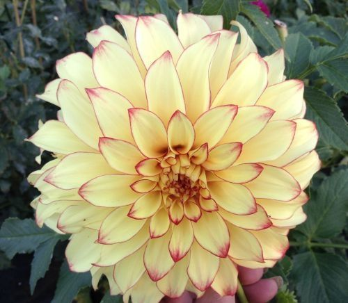 Lady Darlene 8 Very Pretty Two Color Red And Yellow Flower With Great Form Flower Names Dahlia Flower Beautiful Flowers