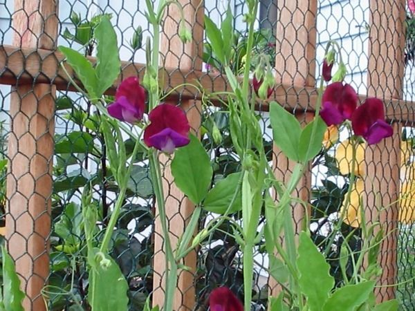 Sweet Peas This Is How My Mother Grew Her Sweet Peas Good Old