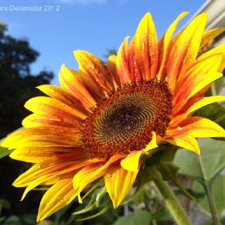 Sun lover. I created a new board for sunflowers! Come check out the flowers of the sun!