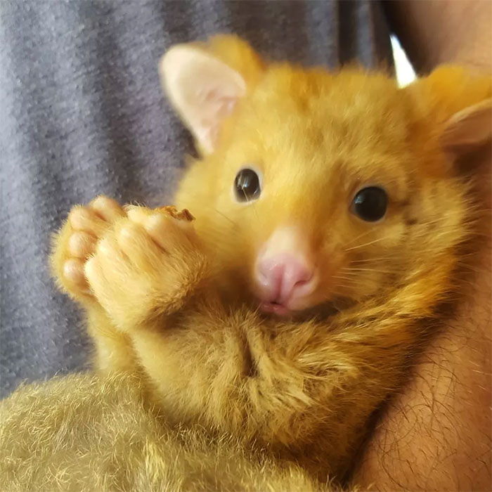 Australian Veterinary Clinic Rescues A Rare Golden Possum People Say They Just Caught A Pikachu In 2020 Fluffy Animals Animals Baby Possum