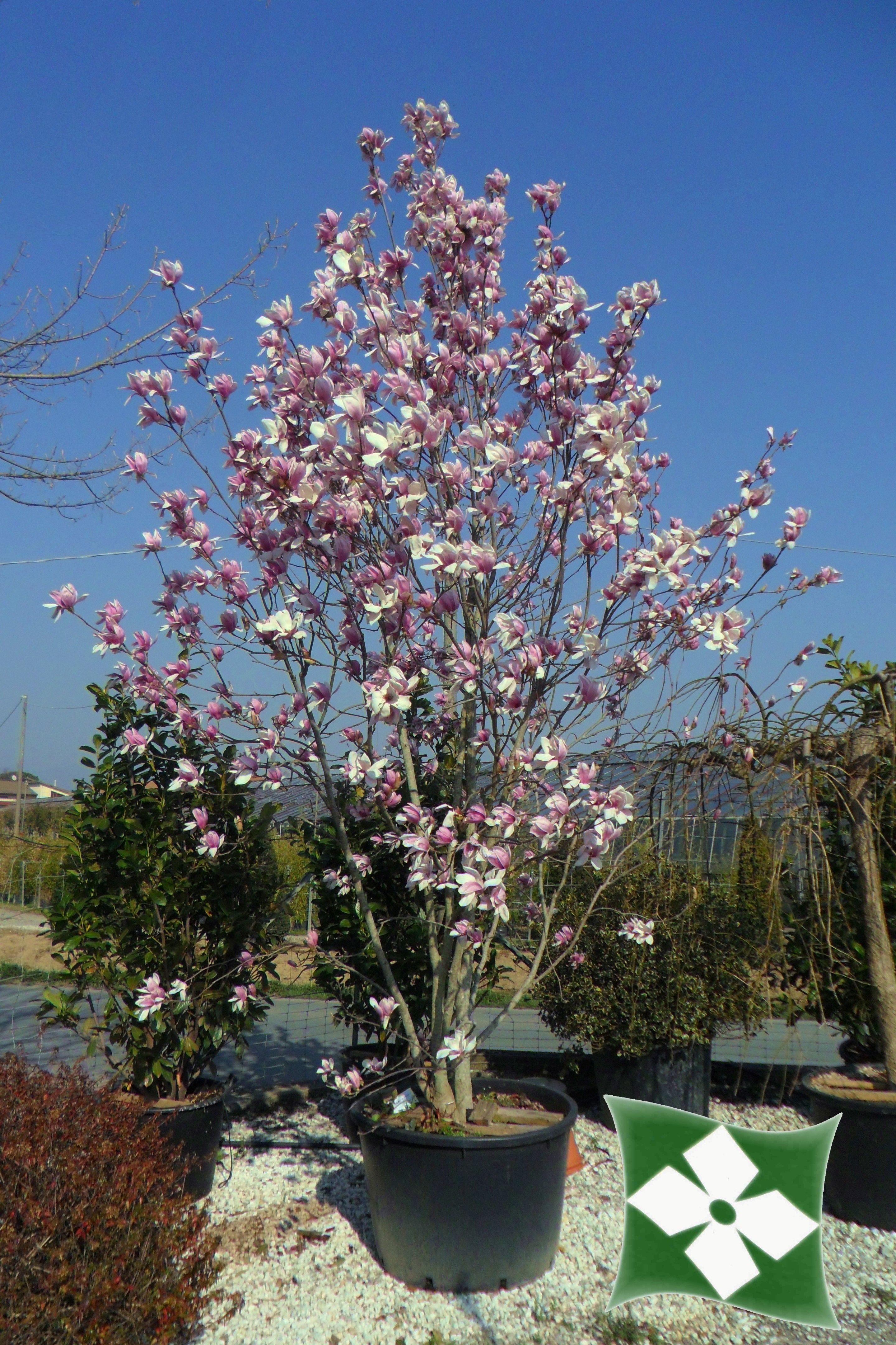 magnolia x soulangeana magnolia a foglia caduca. Black Bedroom Furniture Sets. Home Design Ideas