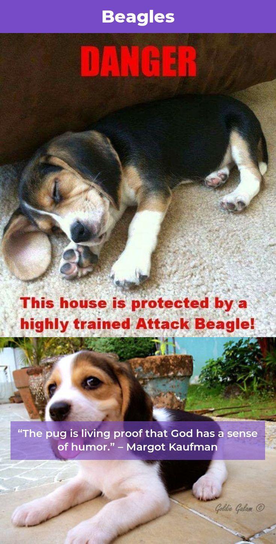 Beagle Dog Beaglelovers Beagles Tips Beagle Dogs Beagle Dog