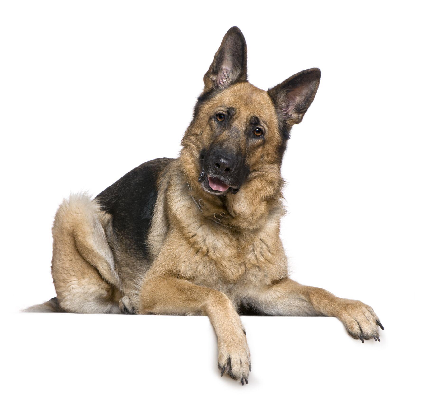 Idea by S J Chacon on German shepherds Dog training near