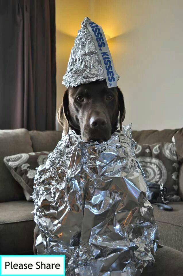 now if this isnt amazing hershey kiss dog halloween costume pretty appropriate for a chocolate lab - Halloween Costumes For Labradors