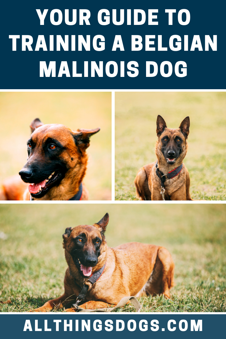 Pin On Belgian Malinois