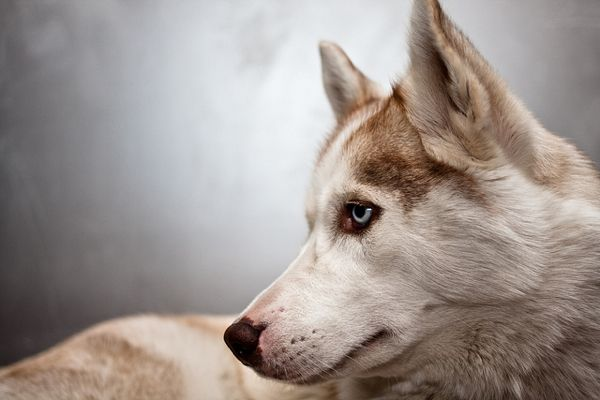 20 Majestic Pictures of Siberian Huskies