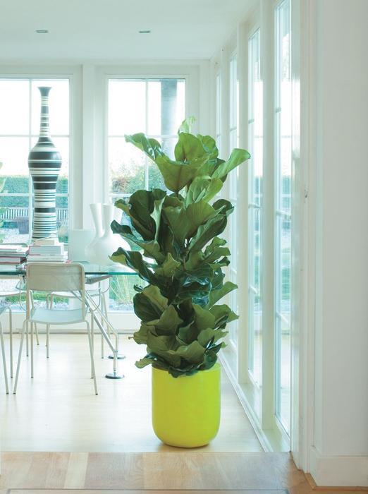 Galeria Zdjec Jak Eksponowac Kwiaty Doniczkowe W Domu Zdjecie Nr 2 Urzadzamy Pl Ficus Lyrata Ficus House Plants Decor