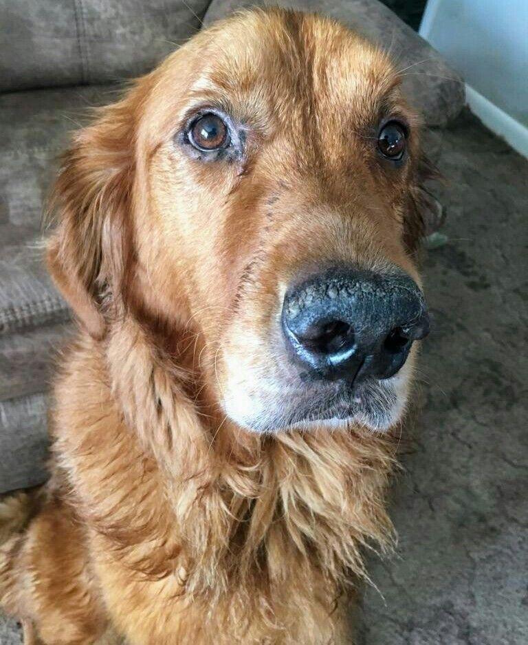 Red golden retriever puppies for sale pennsylvania