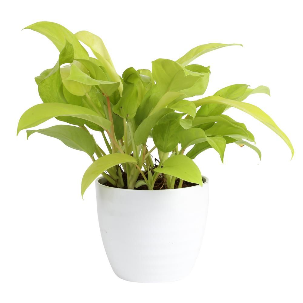 Costa Farms Golden Goddess Philodendron Plant In 6 In Ceramic Pot Co 3 1 41goldgd Trtr The Home Depot Philodendron Plant Philodendron Plants