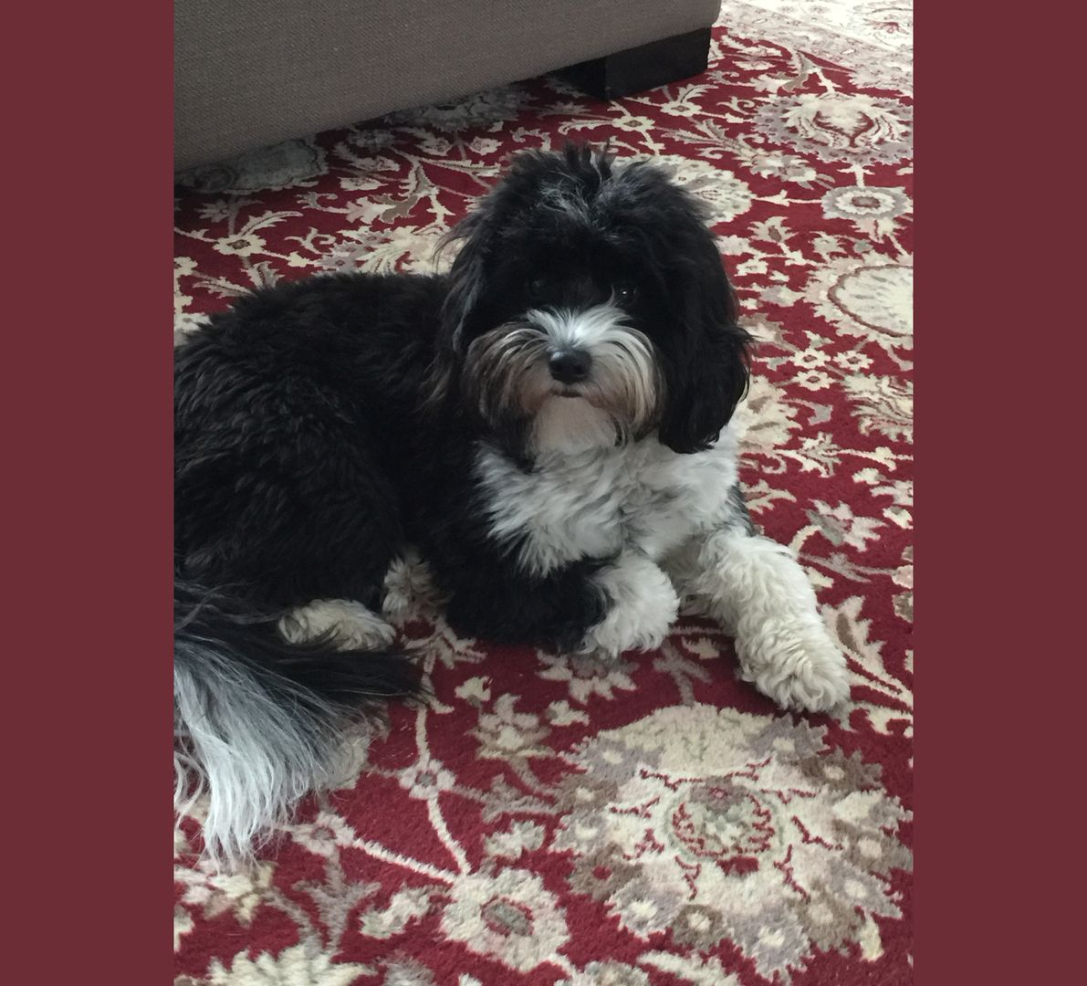 Tibetan Terrier Puppies For Sale Minneapolis Mn Tibetan Terrier Terrier Puppies Terrier