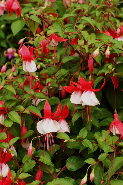 Fuchsia Lady In Red Fuchsia Lady In Red Beautiful Flowers