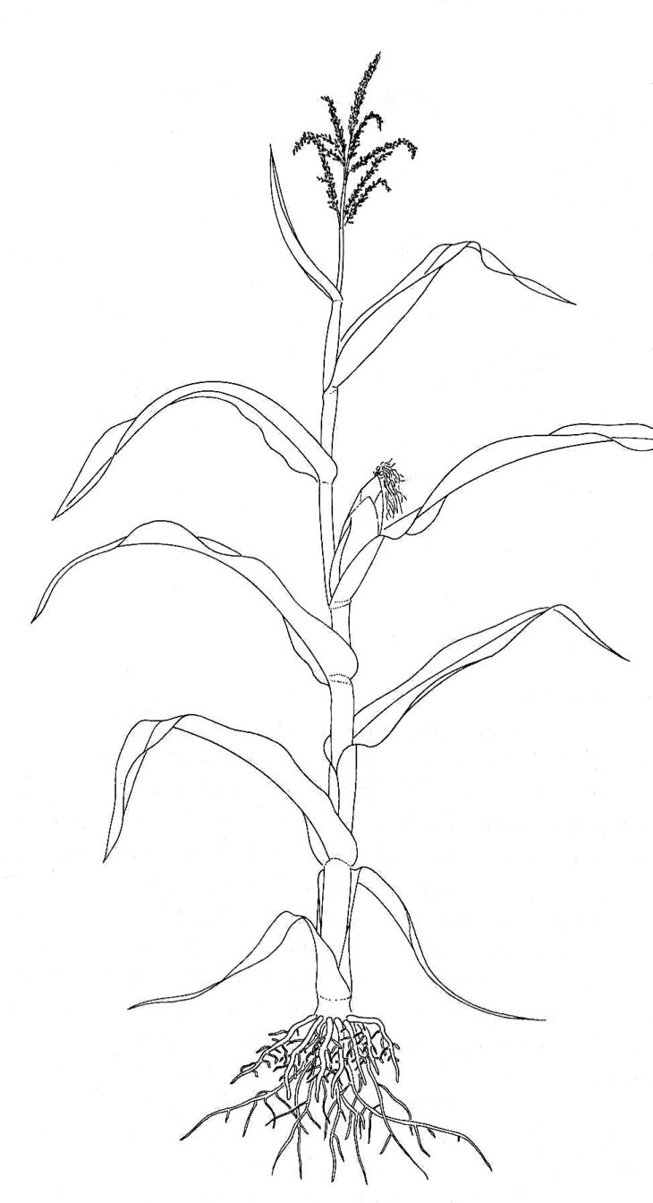 pin by hayley cervantes on plants in 2019 corn plant corn drawing plant drawing [ 730 x 1344 Pixel ]