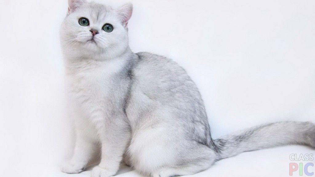 Британская кошка (27 фото)   Милые детеныши животных ...