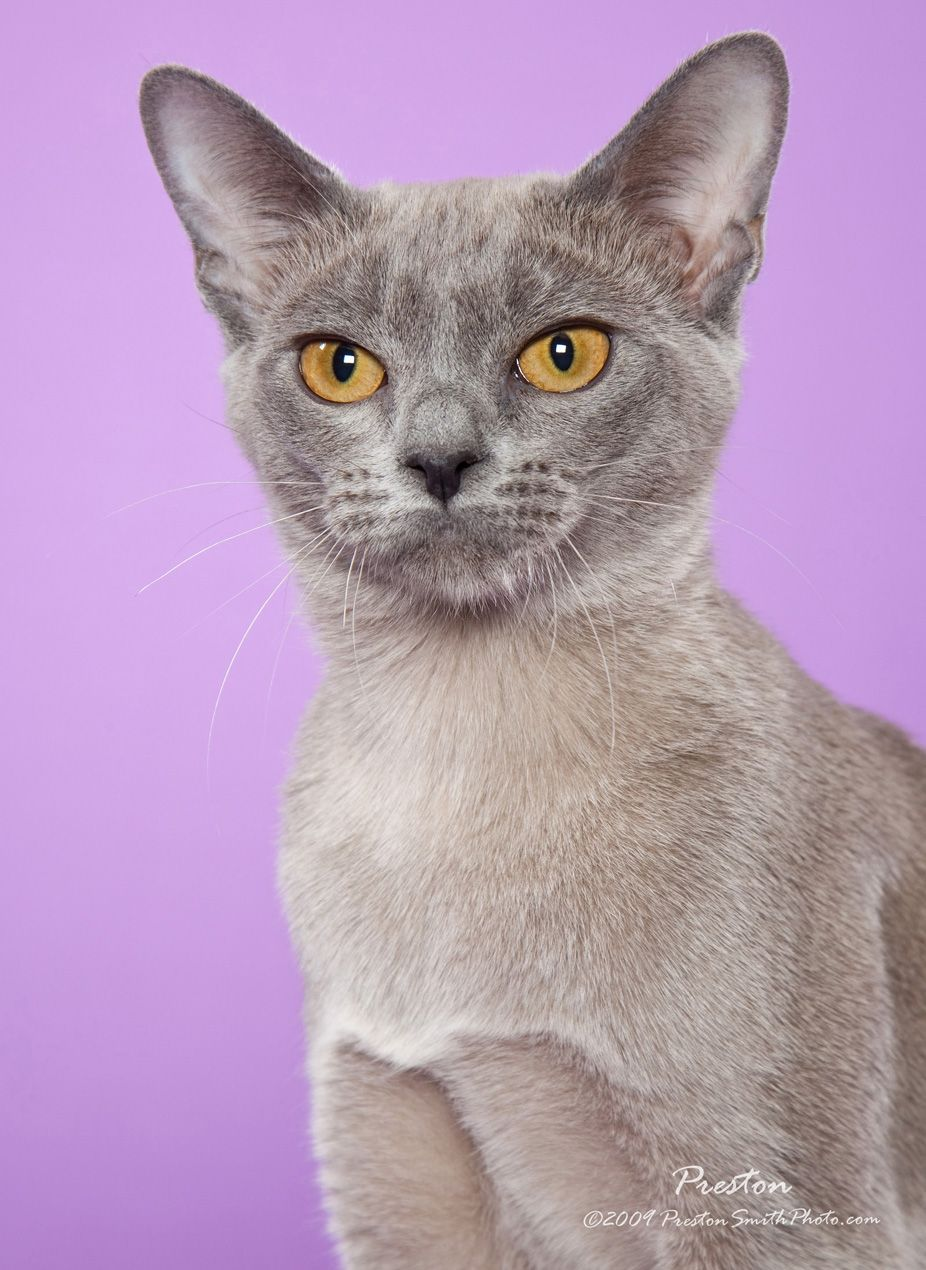 European Burmese Cat Burmese Cat Beautiful Cats Cats And Kittens