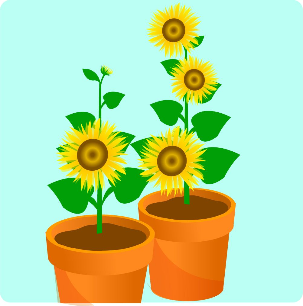 Can Also Use Sunflower Seeds That We Feed To Birds S How I Did It Grow A In Pot Via Www Wikihow