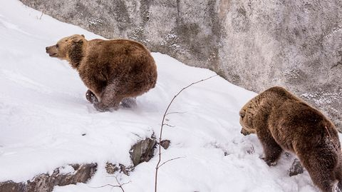 ANIMAL NEWS FINLAND 8.2.2016....The brown bears at Helsinki Zoo woke up from their winter hibernation this week, a month ahead of schedule.