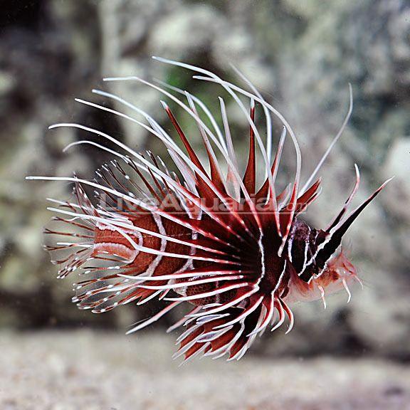 Dd Update Feb 5 2014 Beautiful Sea Creatures Sea And Ocean Lion Fish