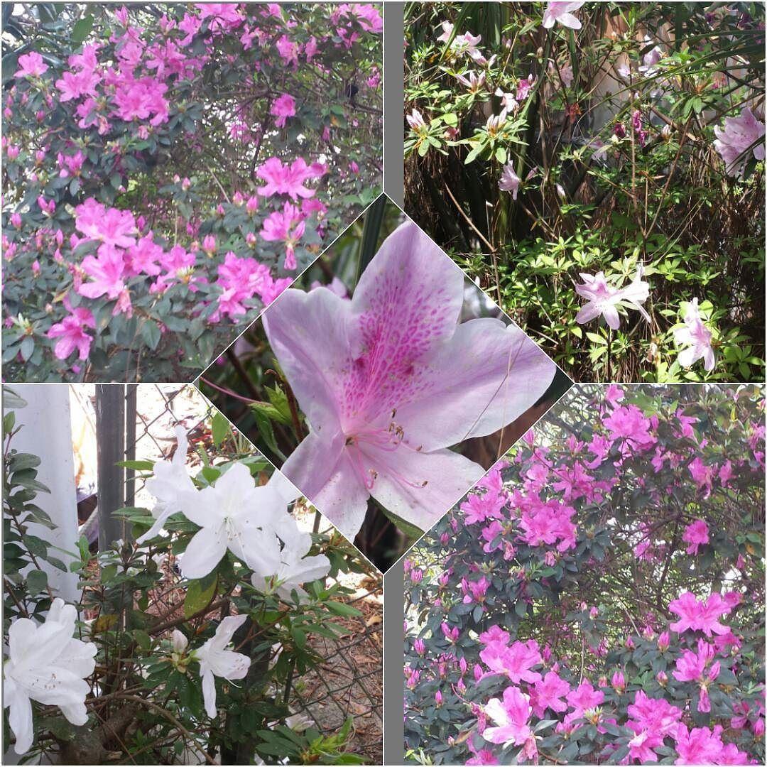 Azaleas Everywherelove This Time Of The Year Azaleas Spring