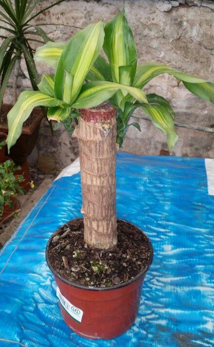 Nombre cient fico dracaena pinteres - Plantas de sol directo ...