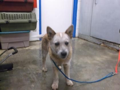 Adopt Jake On Australian Cattle Dog Blue Heeler Blue Heeler