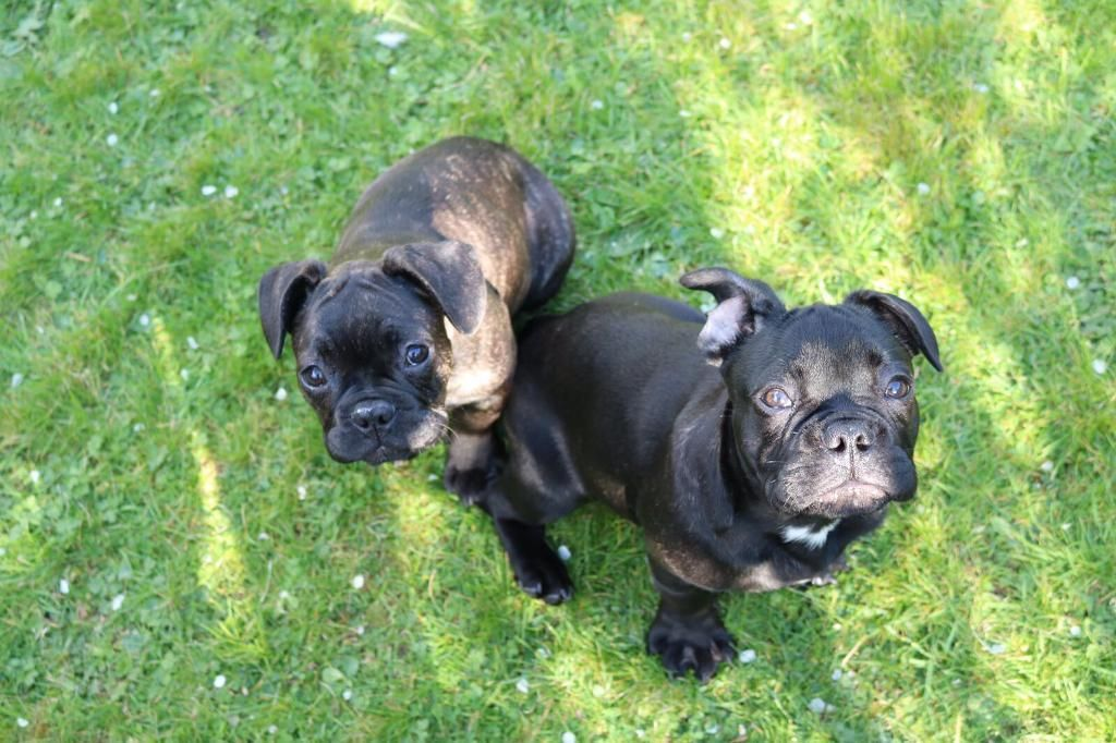FRENCH BEAUTIFUL BULLDOGS PUPPIES FOR SALE £1200