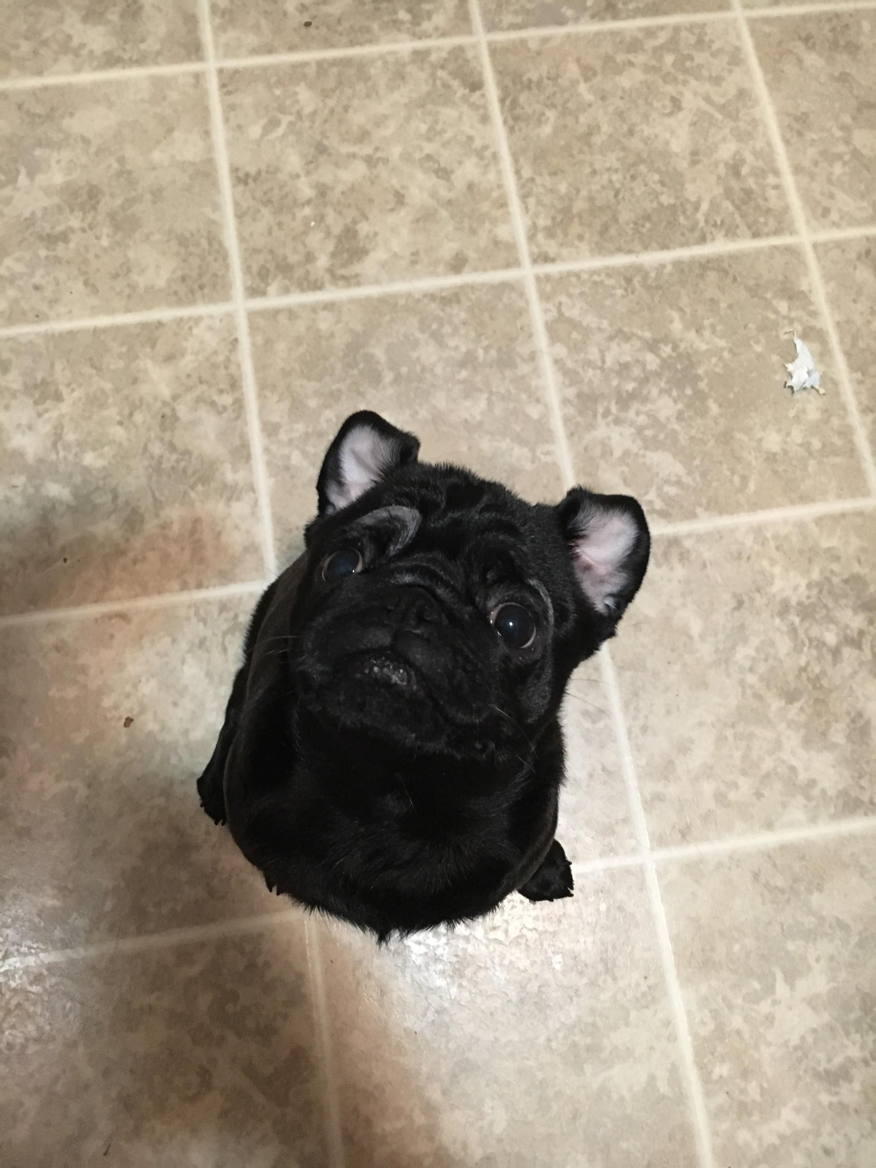 Tallulah's ears flip up when she sits for a treat! http