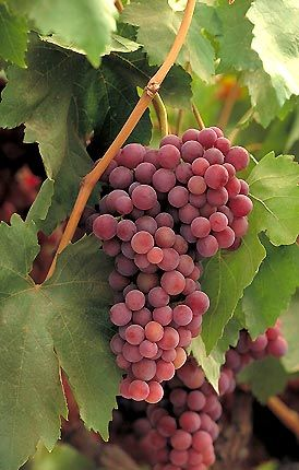 Table grape varieties for hot dry summers thompson seedless sultana flame seedless early - Seedless grape cultivars ...