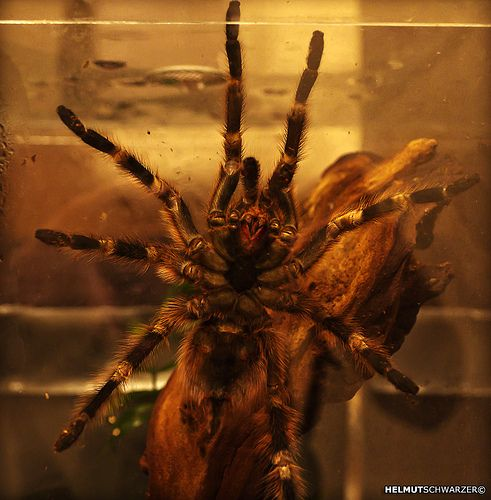 Cool Brazilian Black Tarantula Images
