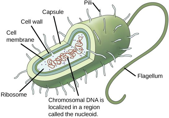 name 2 of the 4 main components of a prokaryotic cell 7th grade rh pinterest com prokaryotic cell labeled parts Prokaryotic and Eukaryotic Cells