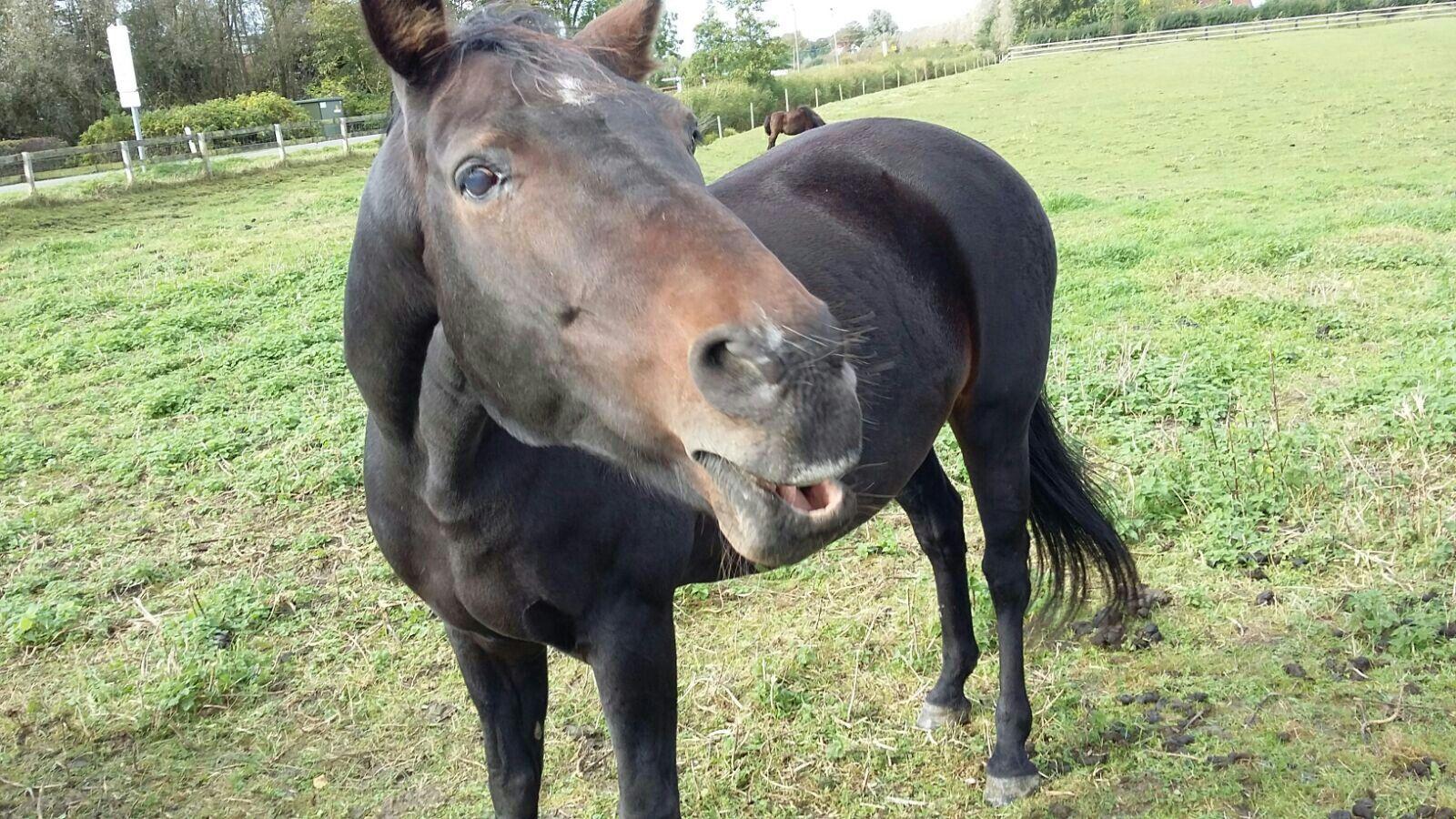 Pfeifendes Pferd auf Eiderstedt..namens Ronja.Aufgenommen im Herbst 2016.:)