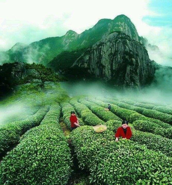 Tea Fields,Japan..