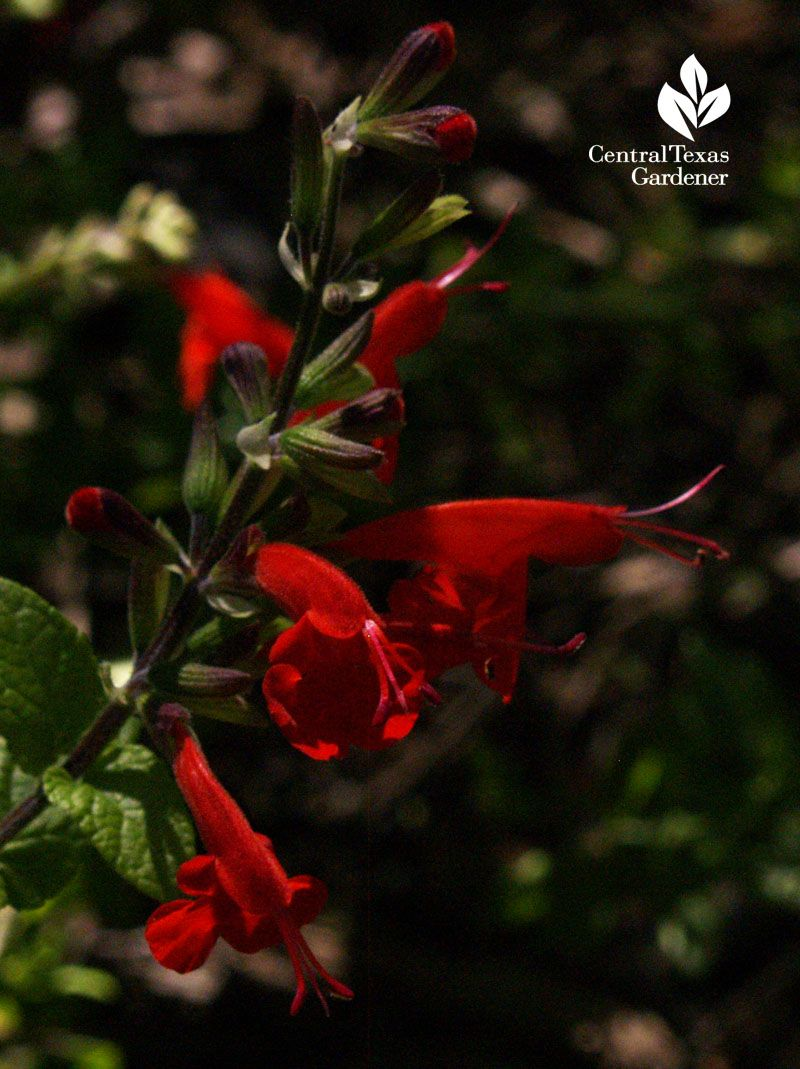 Celebrating Texas Native Plant Week with Salvia coccinea