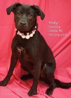 Please Contact Coweta County Animal Control To Adopt This Pet 770 254 3735 The Address Is 91 Selt Road Newnan Ga Pinky Petsmart Dog Dog Adoption Adoption