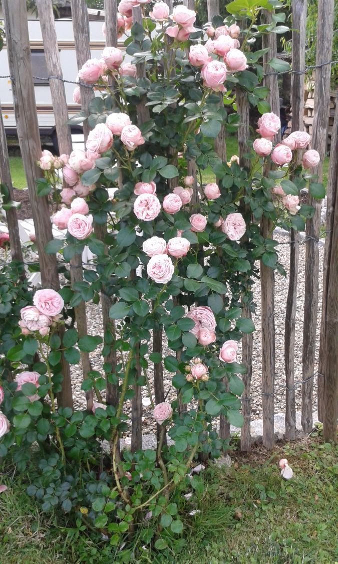Pin On Climbing Roses