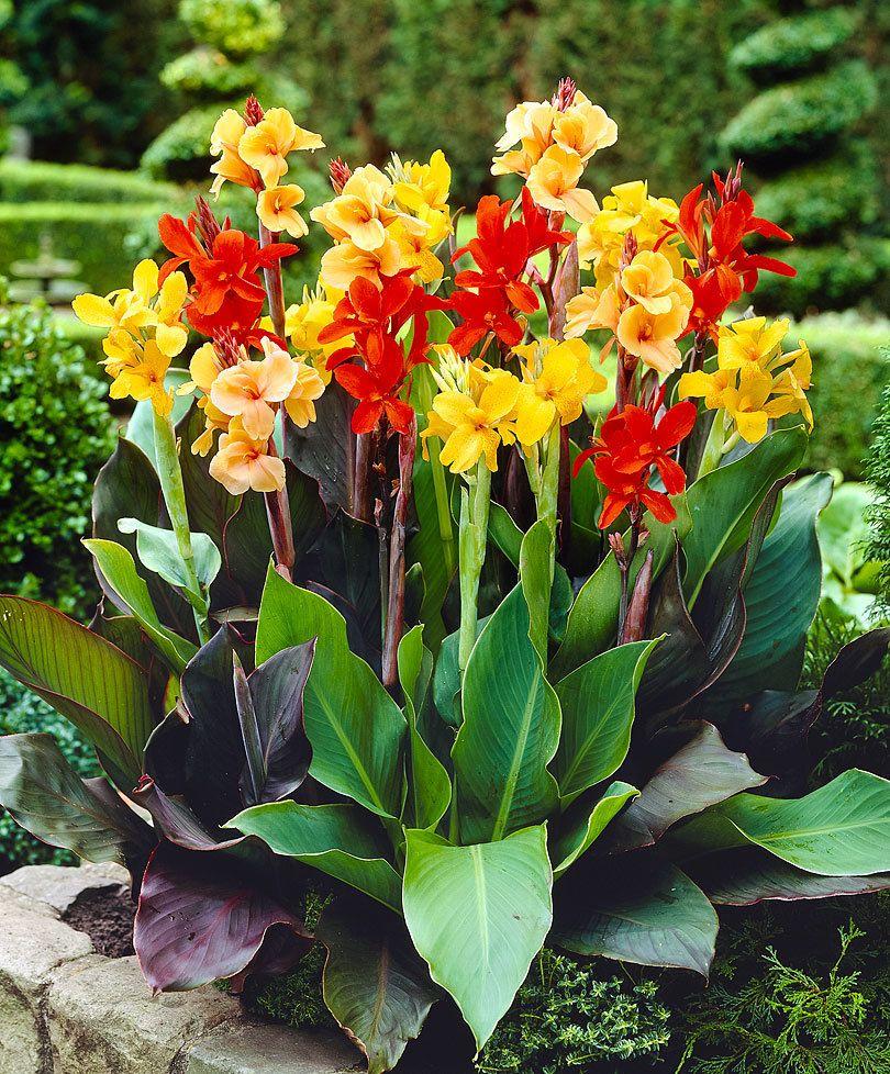 Pin Von Pokis Braut Auf Garten Pflanzen Exotische Blumen Pflanzen Bestellen Canna Lily