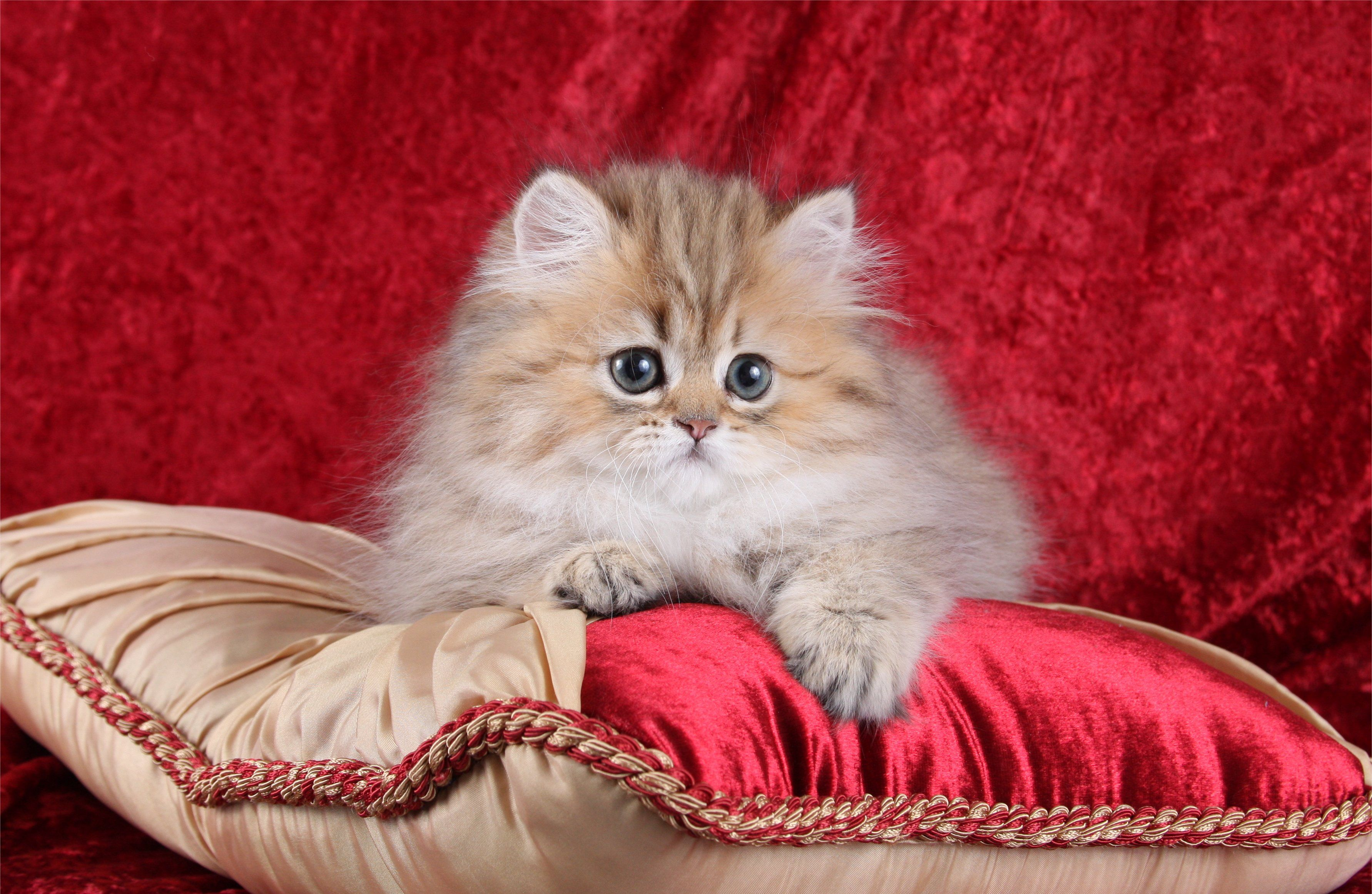 Teacup Persian Kitten Informationultra Rare Persian Kittens For Sale Teacup Persian Kittens Persian Kittens For Sale Persian Kittens
