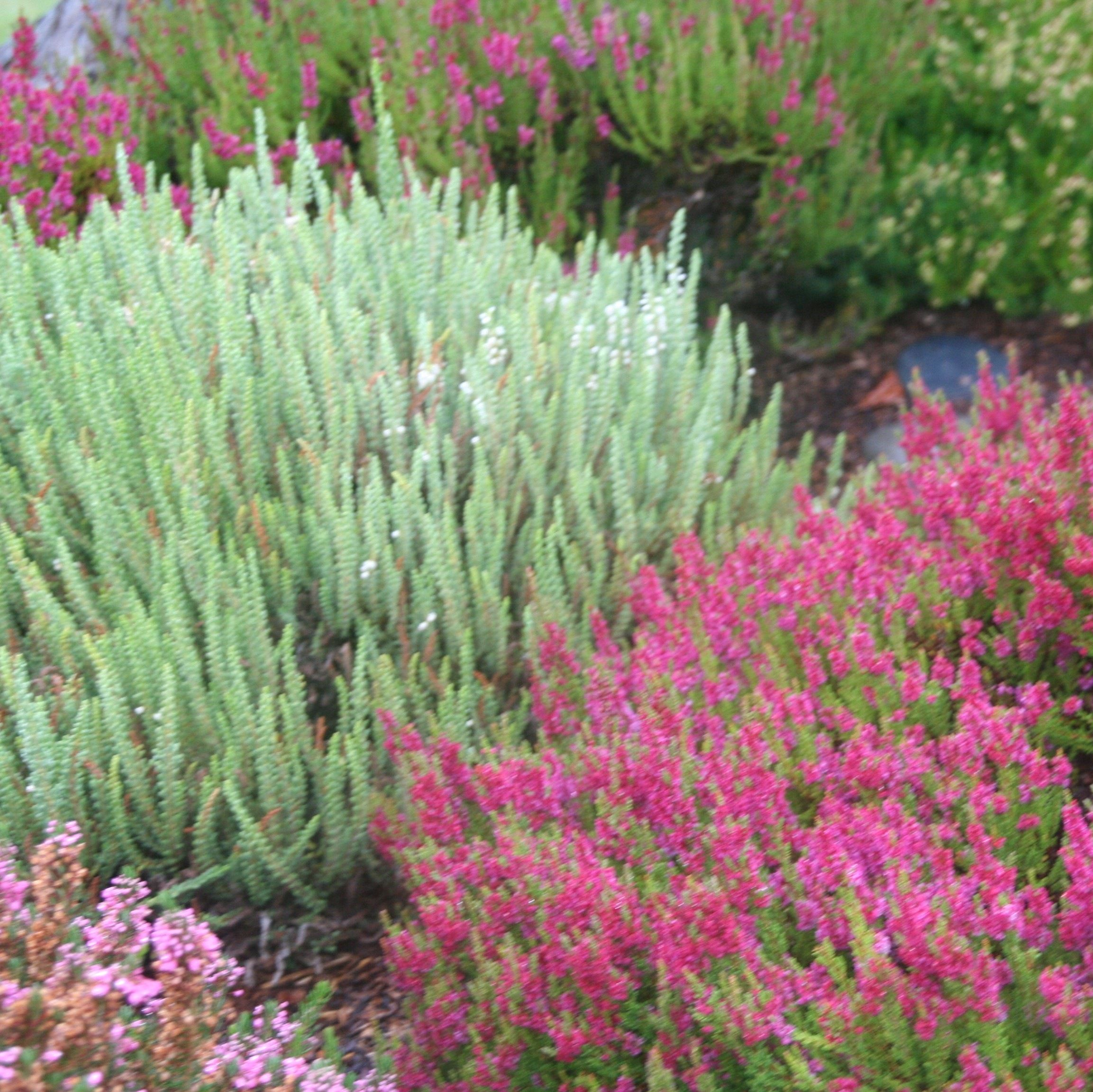 Coastal Gardening Groundcover Plants For The Sea Coast North Coast Gardening Ground Cover Plants Plants Heather Gardens