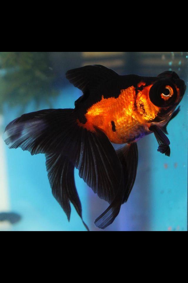 Fancy Goldfish Black And Orange Goldfish Goldfish Pond Ryukin Goldfish