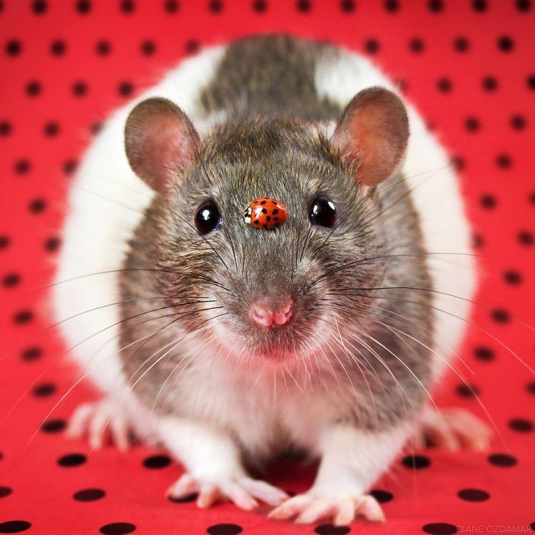 The Photographer For Years Removes Domestic Rats So People Finally Believe They Are Cute And Charming Planet Of Goodness Pet Rats Cute Rats Cute Creatures