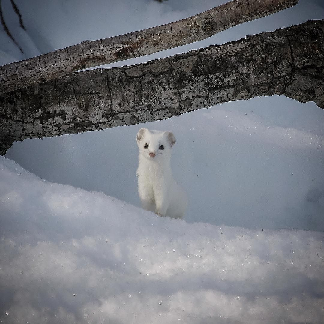Ermine. Photo: IG @shon_reed