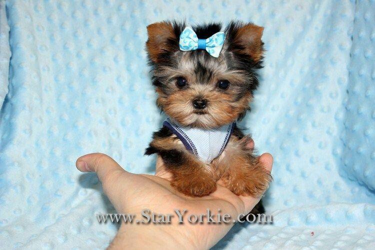 Star Yorkie Kennal Teacup Yorkie Puppies Teacup Puppies Cute Baby Animals
