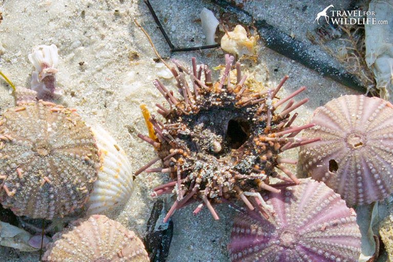 How To Tell If A Sea Shell Sand Dollar Starfish Egg Case Or Urchin Is Alive Or Dead Urchin Sea Shells Starfish