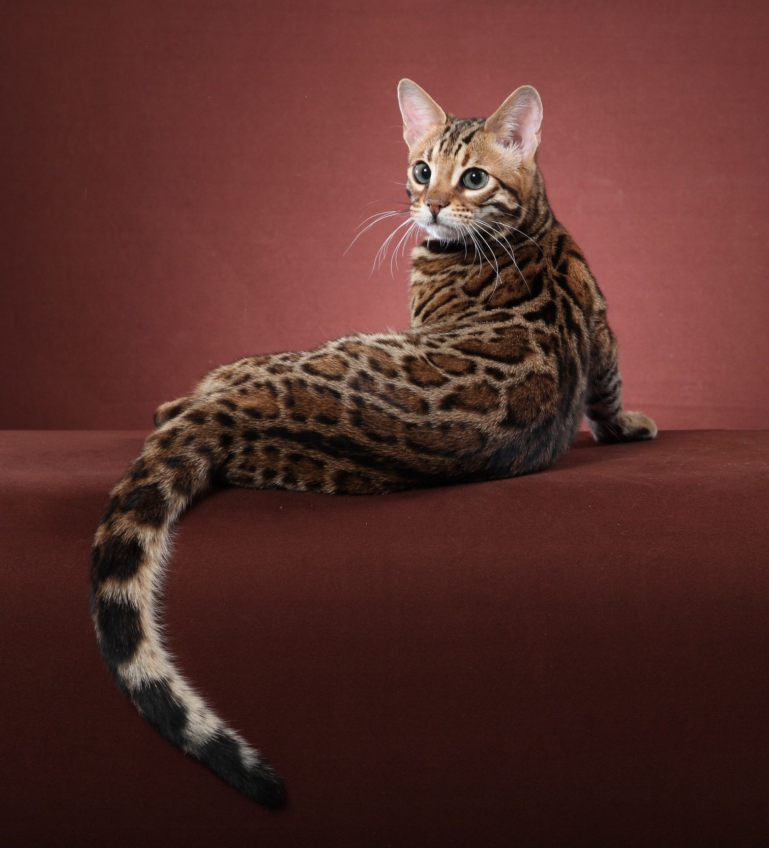 Pin by Dawnee Anaya on cats Bengal cat for sale, Bengal