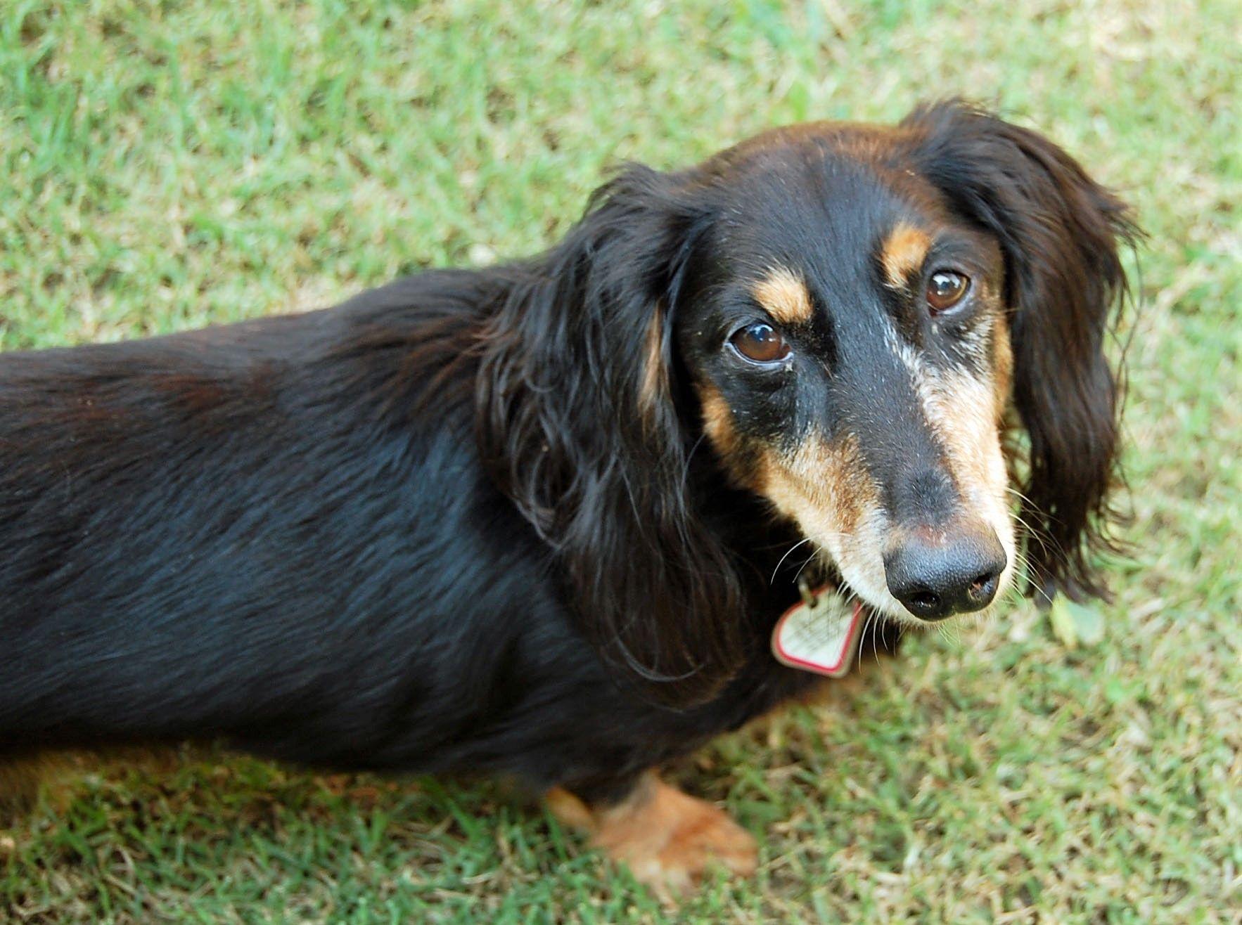 Dachshund dog for Adoption in Lewisburg, TN. ADN655409 on